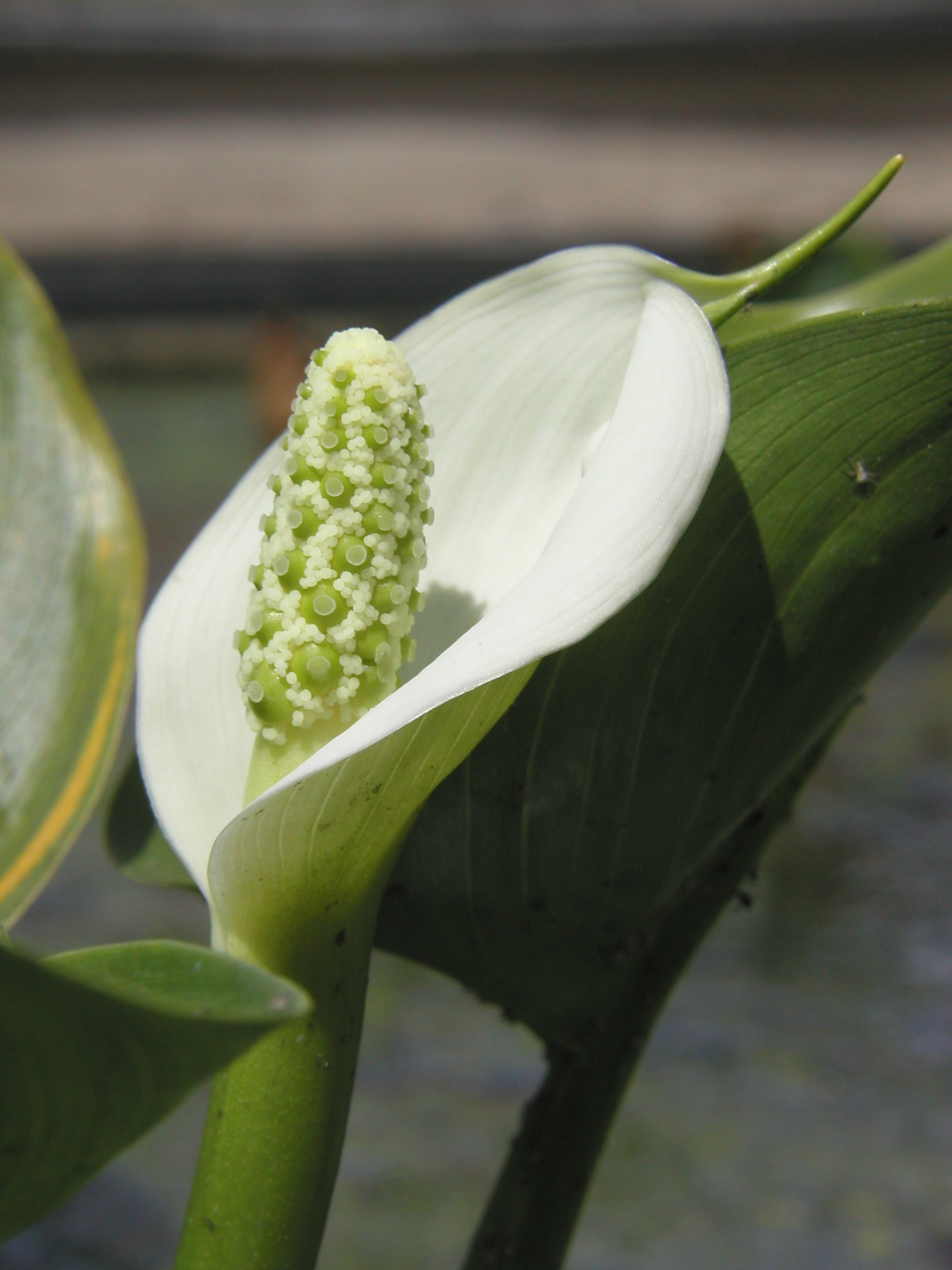 calla palustris - arum d'eau | aquatic bezançon - production